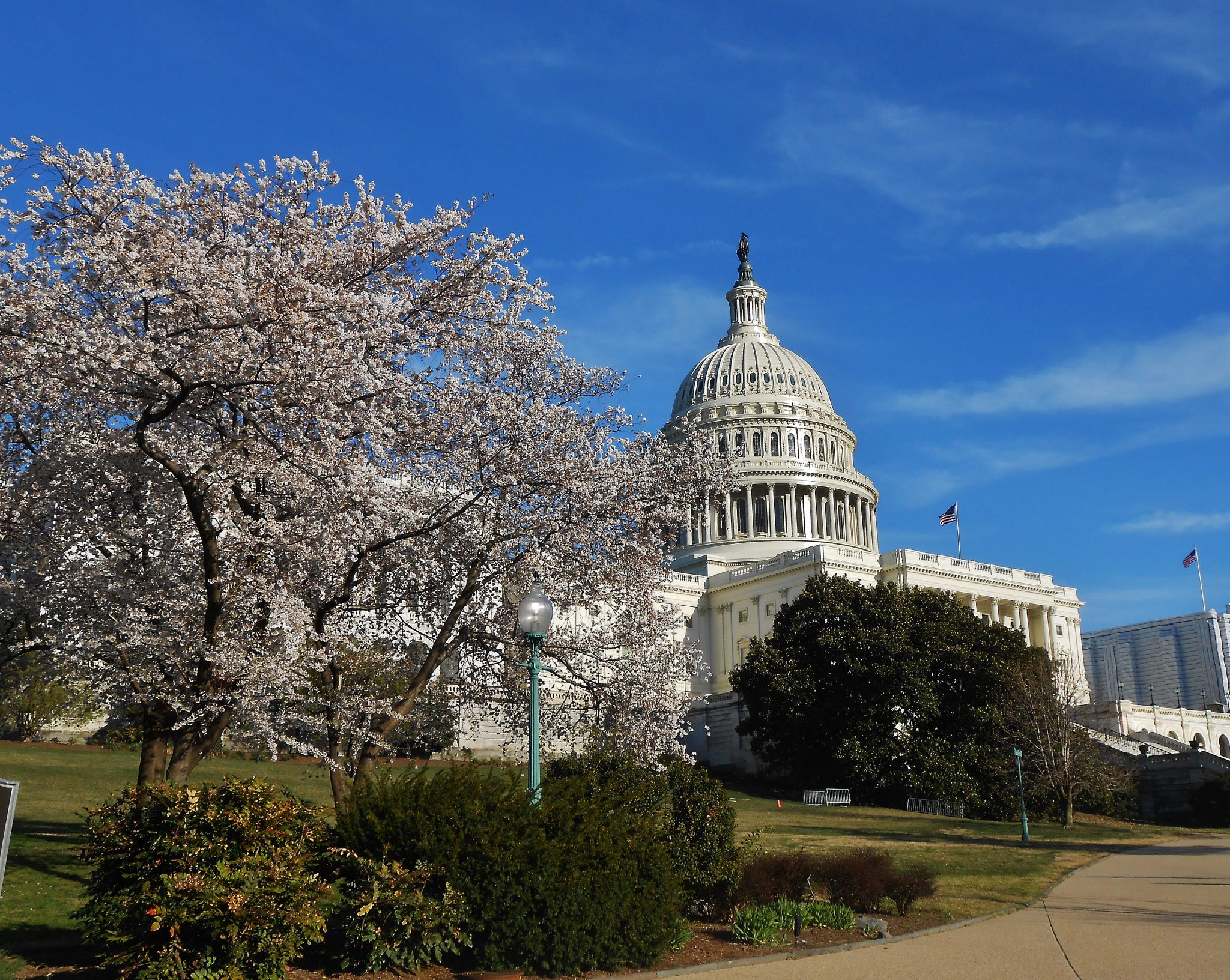 The Capitol with cherry blossoms Washington DC
