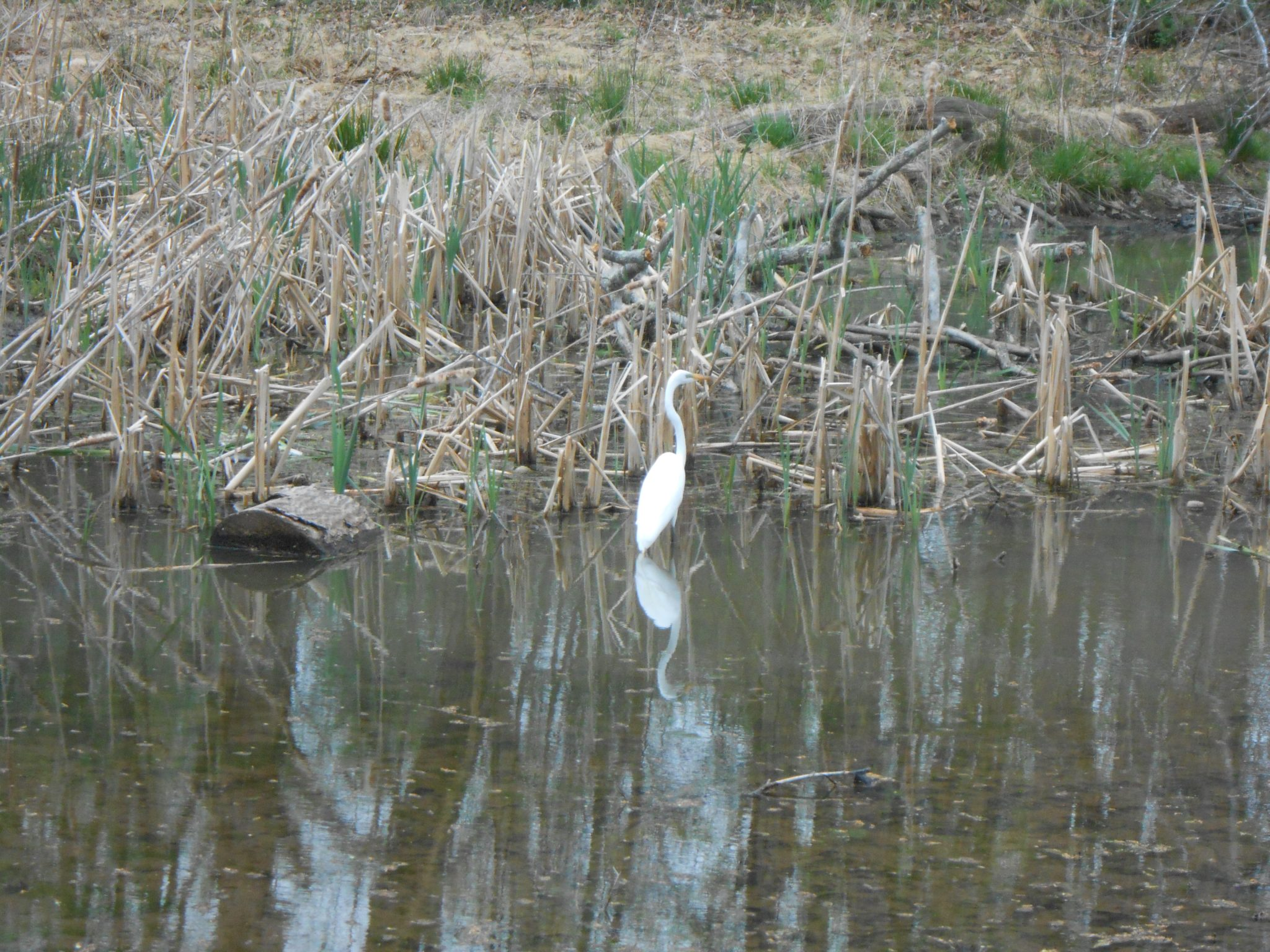 Egret on the C & O Canal
