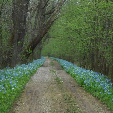 Bluebells lining the C & O Canal towpath