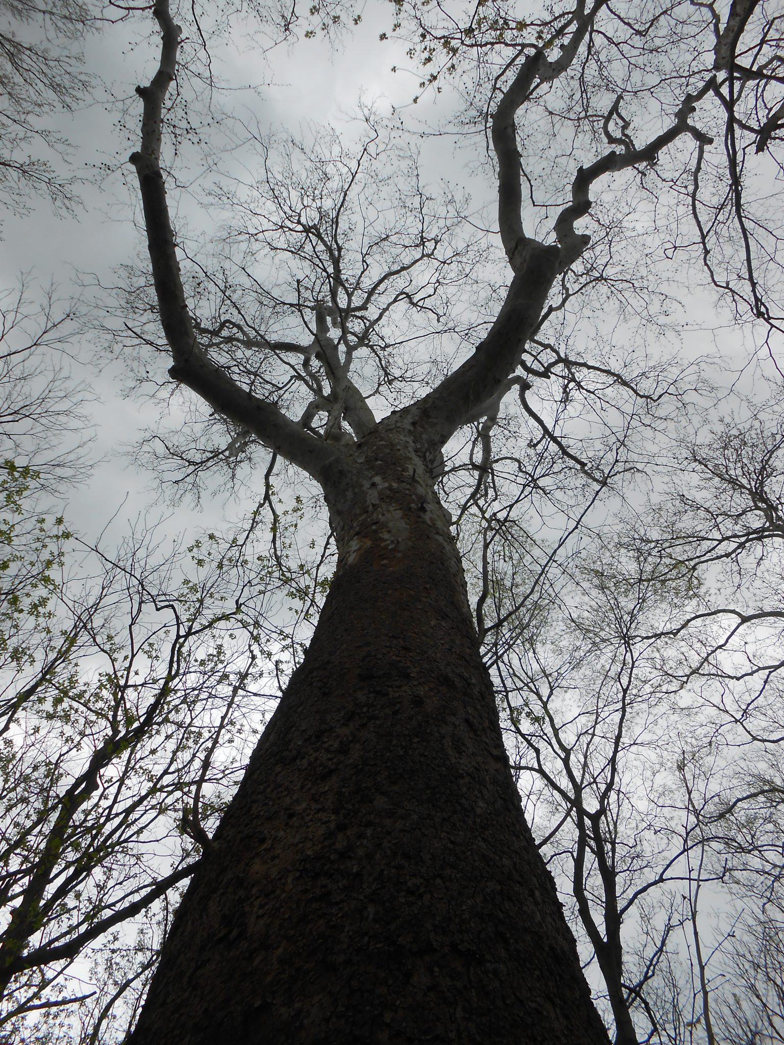 Large sycamore in a floodplain forest along the Potomac