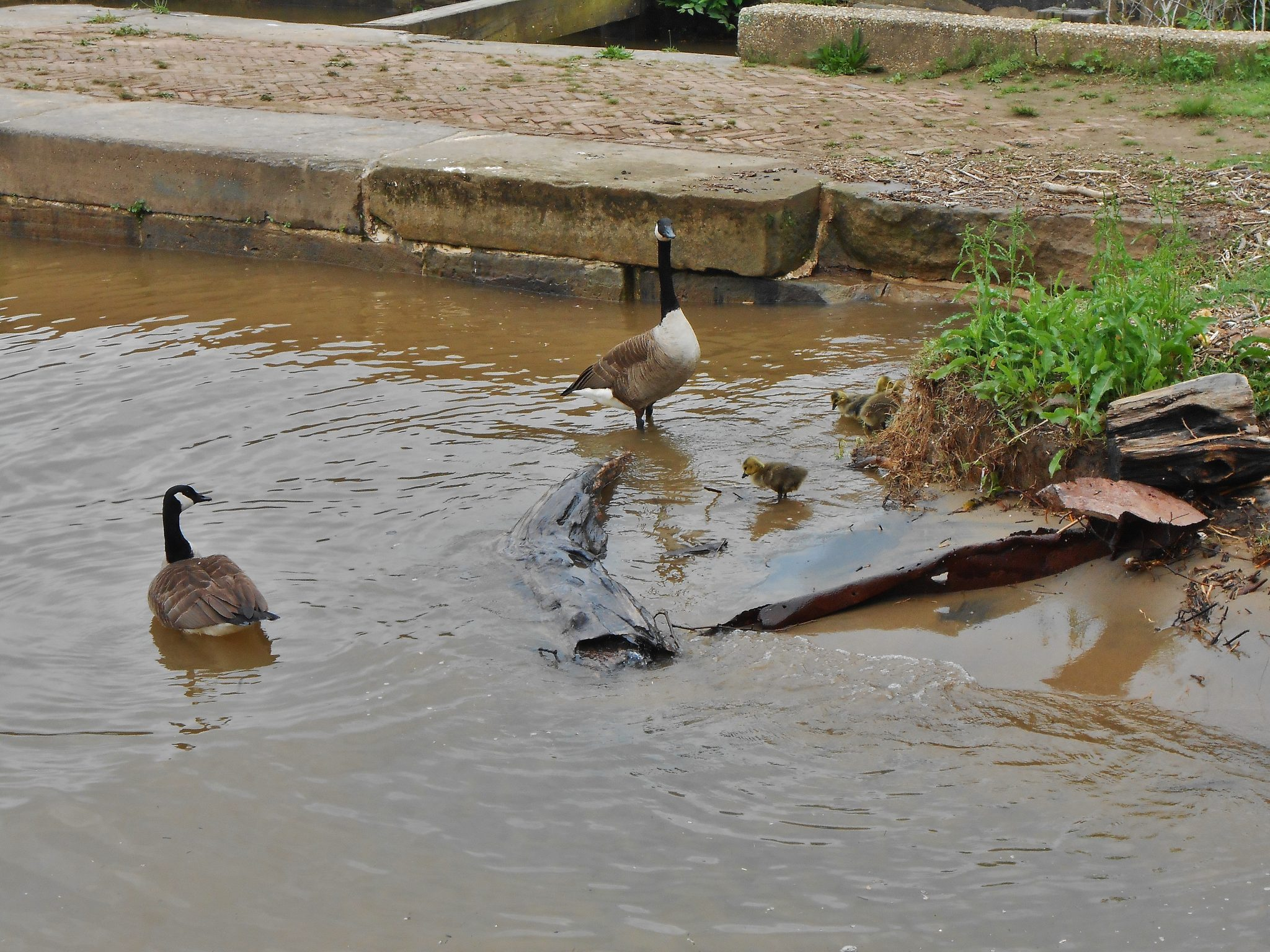 Canada geese and goslings near Mile Marker 0 of the C & O Canal